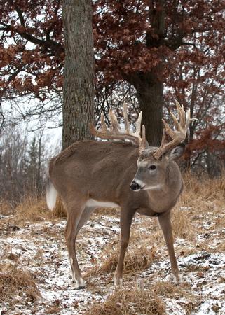 white tailed: whitetail deer buck