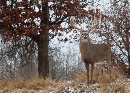 venado cola blanca: Trofeo de ciervo de cola blanca Foto de archivo