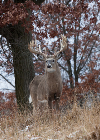 white tailed: Trophy white-tailed deer buck