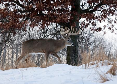 venado cola blanca: Perfil del venado cola blanca del d�lar del trofeo caminando por la nieve.