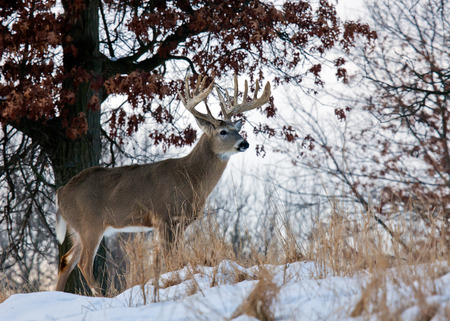 Profile of big whitetail buck, standing on hillside. Winter in Wisconsin