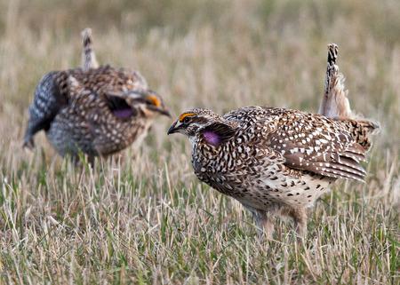 주요한 번식지 (렉)를 방어하기 위해 두 남자, 날카로운 꼬리가 새겨 져 있습니다. 미네소타 북부의 봄. 전경 초점.