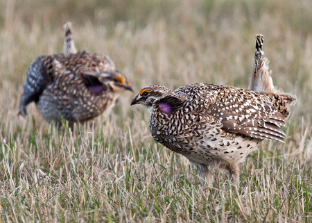 animal behavior: Two male, Sharp-tailed grouse squaring off to defend prime breeding grounds (lek). Springtime in northern Minnesota. Focus on the foreground.