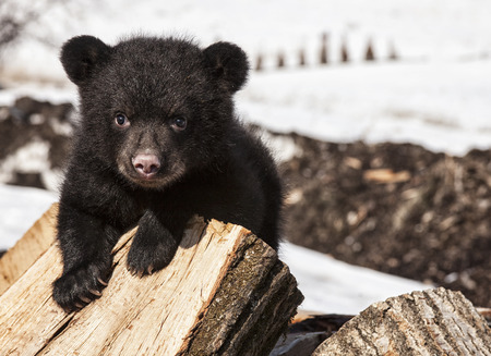 American black bear cub climbing and playing on a wood pile. Springtime in Wisconsin.