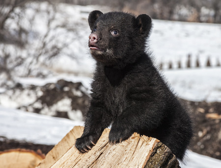 Close up image of an American black bear cub vocalizing. Springtime in Wisconsin photo