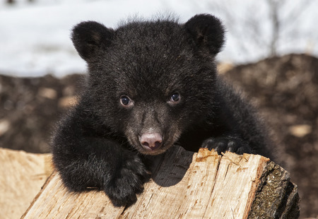cubs: American black bear cub climbing and playing on a wood pile. Springtime in Wisconsin.