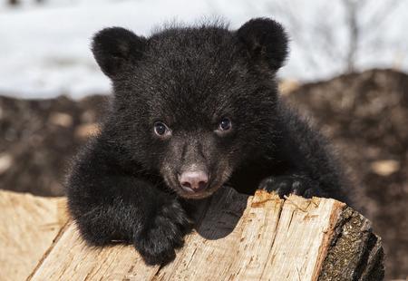 ojos marrones: Americano negro escalada cachorro de oso y jugando en una pila de madera. Primavera en Wisconsin.