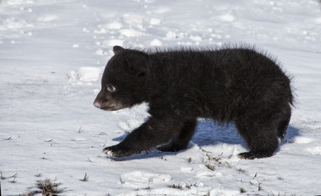 Close up image of an American Black Bear cub. Springtime in Wisconsin