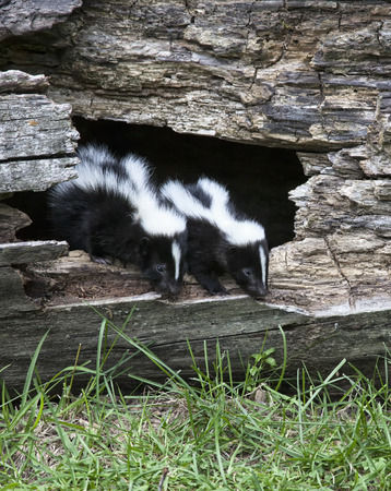 Pair of young, baby skunks emerge from a hollowed out log