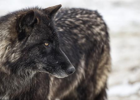 경고 목재 늑대 또는 회색 늑대의 머리와 어깨 이미지를 닫습니다.