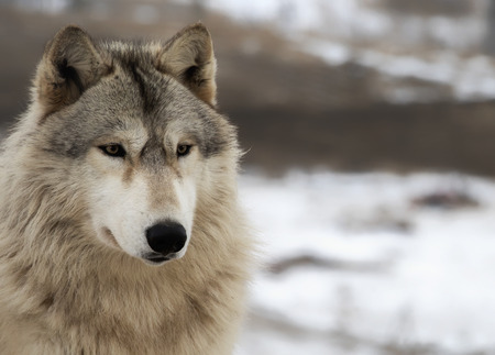 Close up head and shoulders image of an alert timber wolf, or gray wolf.
