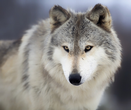 gray eyes: Close up, head and shoulders image of a Timber Wolf, or Gray wolf.  Shallow depth of field.