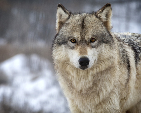 canis: Close up, head and shoulders image of a Timber Wolf, or Gray wolf. Shallow depth of field. Stock Photo