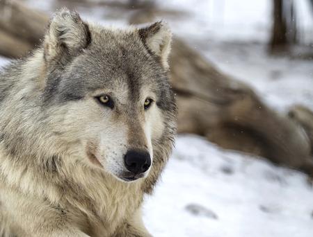 , 목재 늑대 또는 회색 늑대의 머리와 어깨 이미지를 닫습니다. 필드의 얕은 깊이.