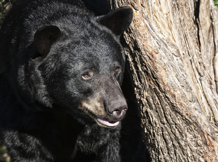 minnesota woods: Close up image of an American Black bear, with focus on his head.