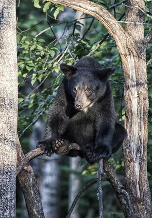 oso negro: Joven, American Oso Negro se sienta en una rama de árbol, mirando con seguridad en acontecimientos especiales abajo. El verano en el norte de Minnesota