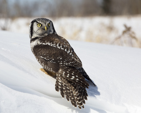 ornithology: Portrait of a Northern Hawk Owl looking over his shoulder. Winter in Wisconsin.