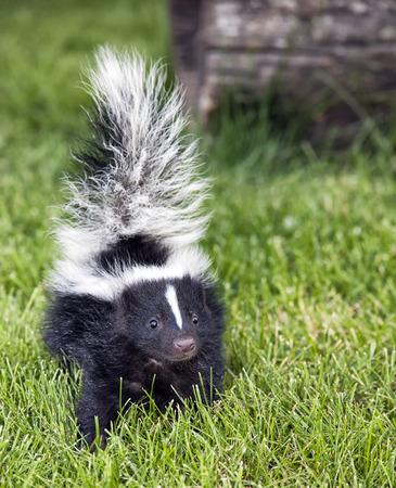 close up image: Close up image of a young skunk walking toward the camera.