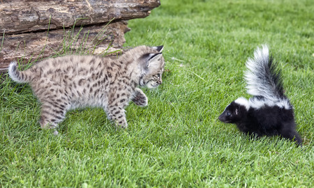 Young bobcat and young skunk meet. Close up, profile image of both animals.