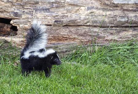mofeta: Imagen de perfil de un zorrillo joven de alerta con la cola hacia arriba, listo para protegerse. Foto de archivo