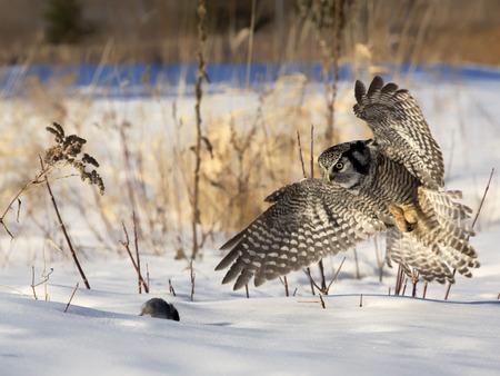 北鷹フクロウ狩猟獲物 (マウス) のイメージを閉じます。 柔らかい午後の照明。 写真素材
