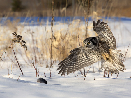 Close up image of a Northern Hawk Owl hunting prey (mouse).  Soft afternoon lighting.