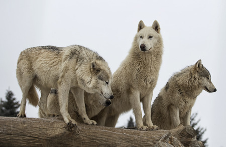 Close up image of a grey wolf pack.  Fine snow falling in this winter scene.