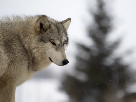 timber wolf: Close up head and shoulders image of a grey wolf or timber wolf.  Shallow depth of field with bokeh.