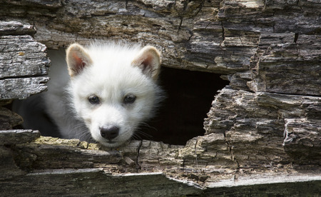 Young gray wolf pup emerges from hollowed log Stock Photo