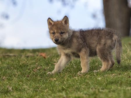 언덕에 서있는 젊은 회색 늑대 강아지의 프로필 이미지입니다.