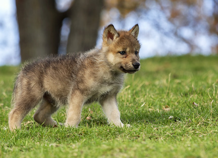 Profile image of a young gray wolf pup standing on a hillside. Stock Photo