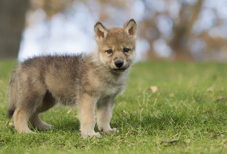 Profile image of a young gray wolf pup standing on a hillside. Foto de archivo
