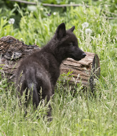 pup: Black phase gray wolf pup standing in long grass looking off into the distance. Stock Photo