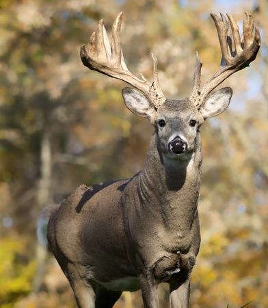 venado cola blanca: Trophy sized whitetail deer buck looking at the camera. Foto de archivo