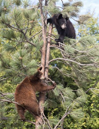 black tree: Young American black bear cubs climbing up an evergree tree.