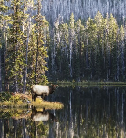 water's edge: Cow Elk at waters edge.  Yellowstone National Park