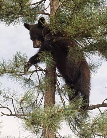 Young, American black bear cub, climbing an evergreen tree. Stock Photo