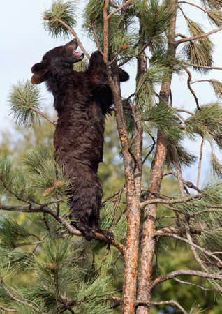 tree vertical: Young American black bear cub, climbing an evergreen tree.