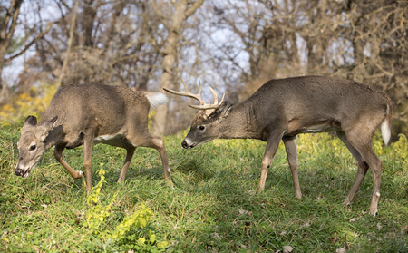 rut: White-tailed deer buck in rut, pursues a doe in heat