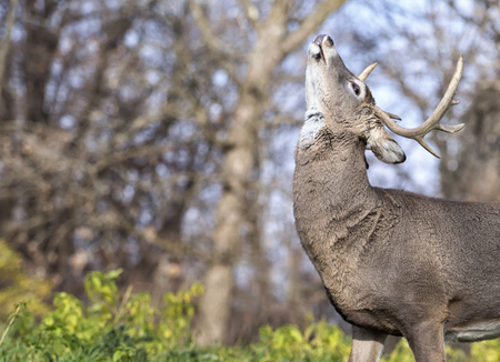 rut: Whitetail deer buck in rut, showing a lip curl, or flehmen response. Stock Photo