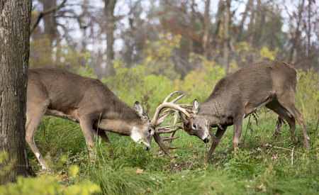 Two white-tailed deer bucks in rut, lock antlers, in sparring display. Banco de Imagens