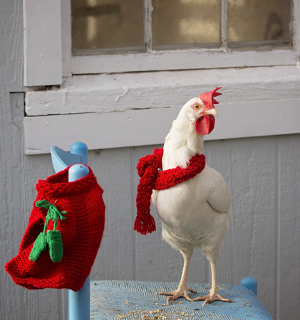 Free range white leghorn hen sporting her festive red Christmas scarf, and sweater.