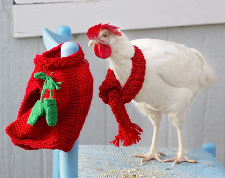 leghorn: Free range white leghorn hen sporting her festive red Christmas scarf, and sweater.