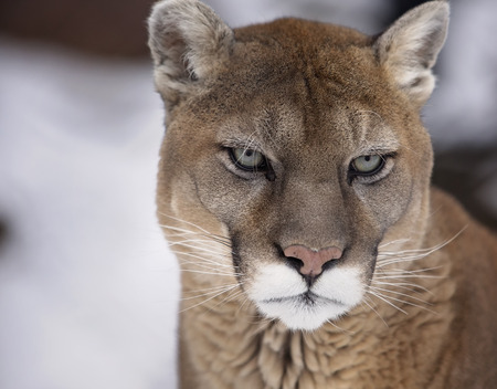 cougar: Close up portrait image of a cougar, mountain lion, puma or panther.  Soft focus with shallow depth of field.