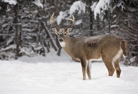 경치 좋은 겨울 풍경 사이 경고, 흰 꼬리 사슴 벅. 스톡 콘텐츠
