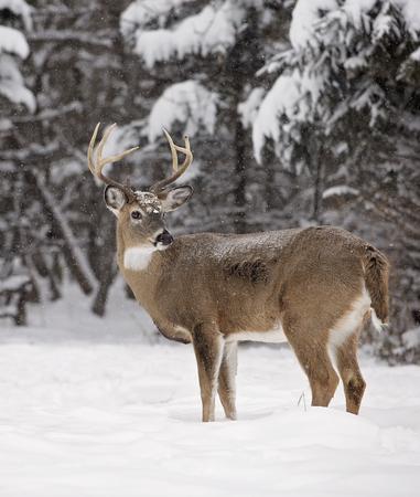 venado cola blanca: Alerta, venado cola blanca pelota en medio de un pintoresco paisaje de invierno.