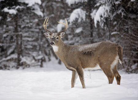 whitetailed: Alert, white-tailed deer buck amongst a scenic winter landscape.
