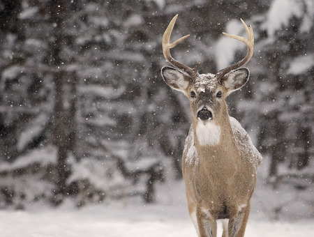 Alert, white-tailed deer buck amongst a scenic winter landscape.