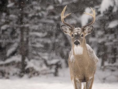 amongst: Alert, white-tailed deer buck amongst a scenic winter landscape.