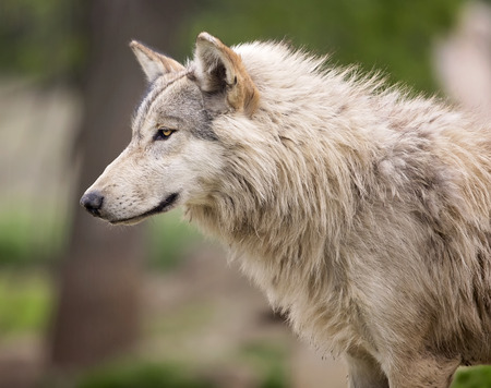 Head and shoulders image of a grey wolf, or timber wolf.  Shallow depth of field. Stock Photo